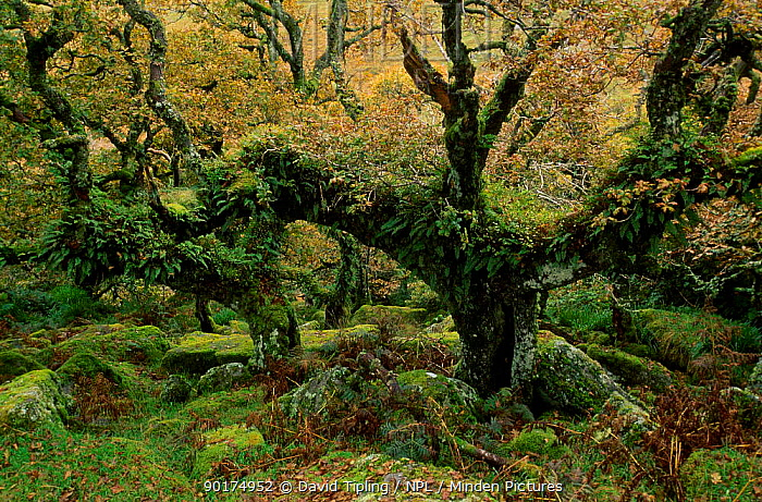 Ancient Sessile oak tree covered with ferns and lichens (Quercus petraea) Devon UK  -  David Tipling/ npl