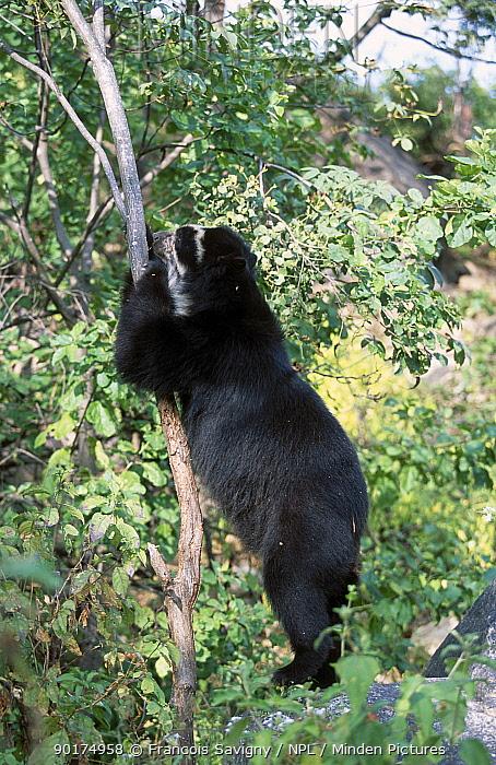 Spectacled bear climbing tree (Tremarctos ornatus) Peru South America captive  -  Francois Savigny/ npl