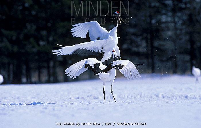 Japanese crane courtship display (Grus japonensis) Hokkaido Japan Feb, March  -  David Pike/ npl