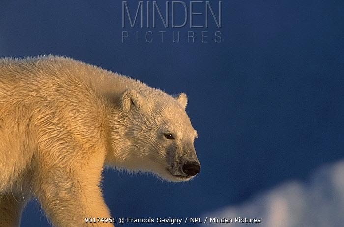 Polar bear (Ursus maritimus) Svalbard Norway  -  Francois Savigny/ npl