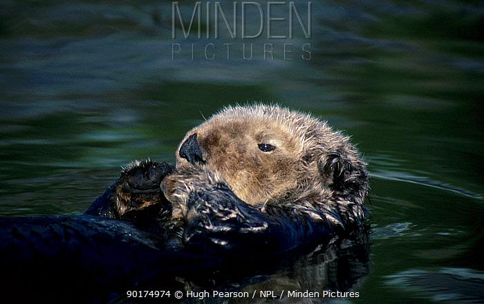 Sea otter (Enhydra lutris) Prince William sound, Alaska, US  -  Hugh Pearson/ npl