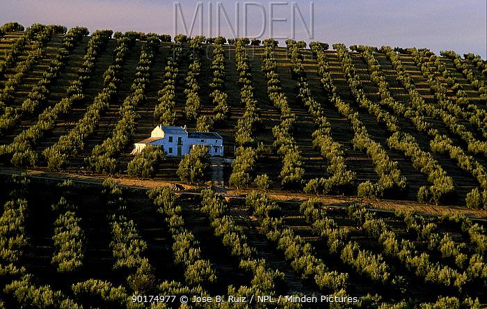 Olive grove with farmhouse (Olea europaea) Spain  -  Jose B. Ruiz/ npl