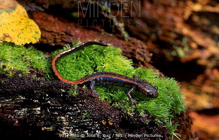Golden striped salamander (Chioglossa lusitanica) Spain  -  Jose B. Ruiz/ npl