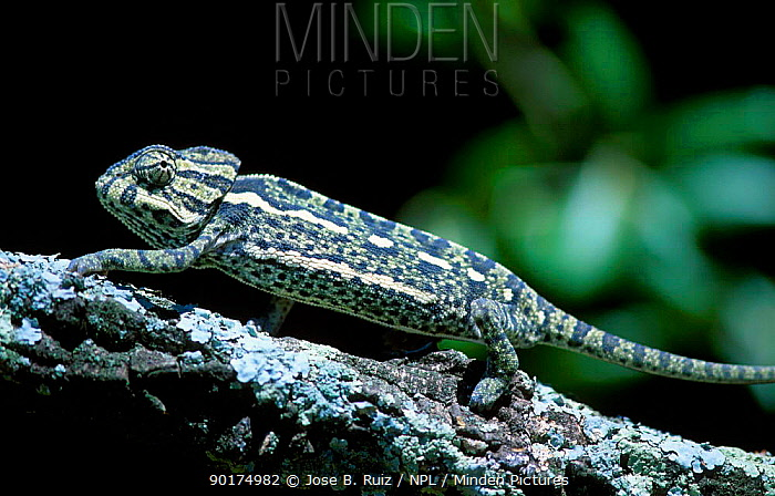 European chameleon (Chamaeleo chamaeleo) Spain eye swivel sequence 2, 3  -  Jose B. Ruiz/ npl