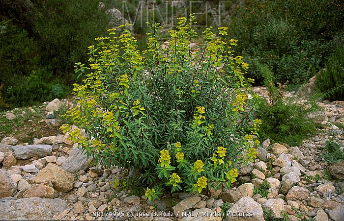 Large mediterranean spurge (Euphorbia characias wulfenii) Spain  -  Jose B. Ruiz/ npl