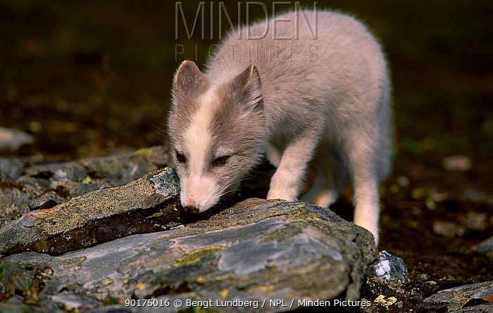 Arctic fox cub in summer (Vulpes lagopus) Kolifjall Sor Trondelag Norway august 2002  -  Bengt Lundberg/ npl