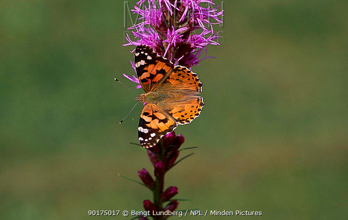 Painted lady butterfly (Cynthia cardui) Sweden (Vanessa cardui)  -  Bengt Lundberg/ npl