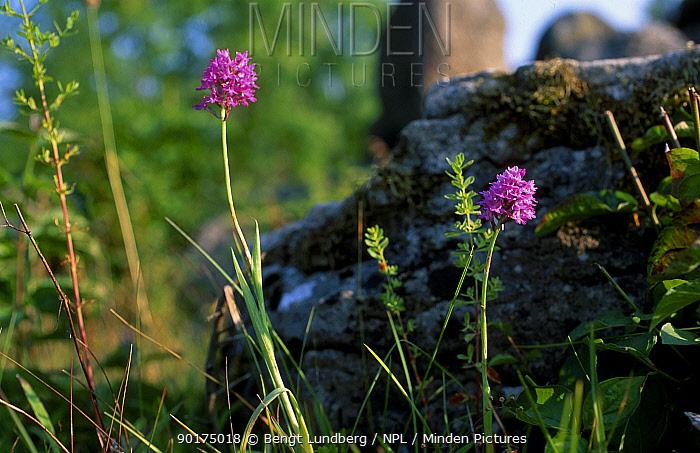 Pyramidal orchid (Anacamptis pyramidalis) Oland Sweden  -  Bengt Lundberg/ npl