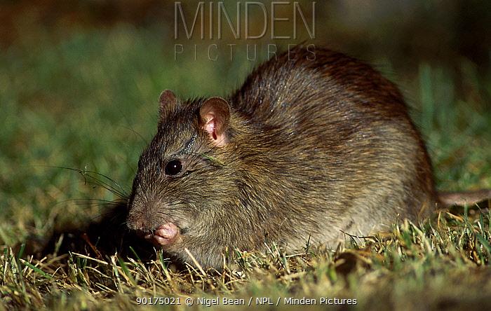 Brown rat feeds on seed dropped from bird feeder (Rattus norvegicus) Tyneside UK  -  Nigel Bean/ npl