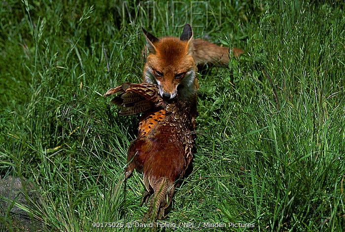 Red fox carrying dead Pheasant (Vulpes vulpes) Surrey UK  -  David Tipling/ npl
