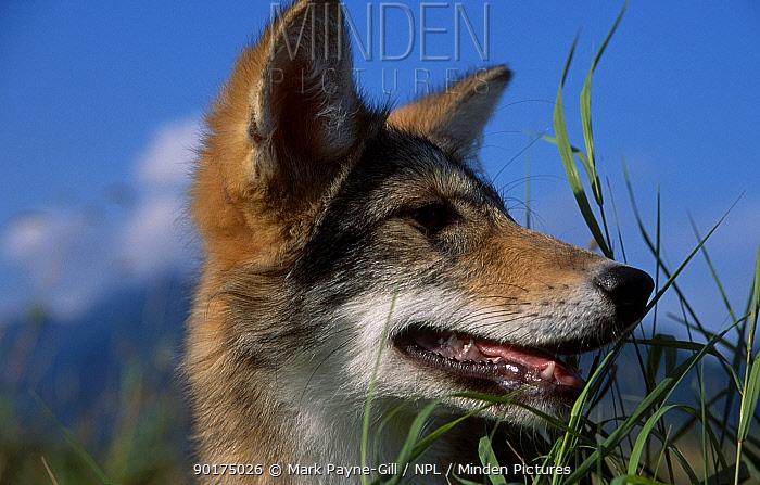 Coyote portrait (Canis latrans) British Columbia Canada  -  Mark Payne-Gill/ npl