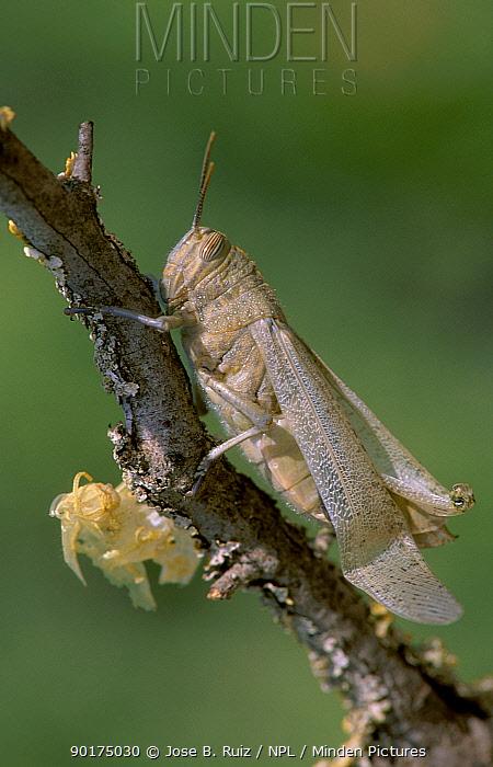 Migratory locust skin drying after moult (Locusta migratoria) Spain  -  Jose B. Ruiz/ npl
