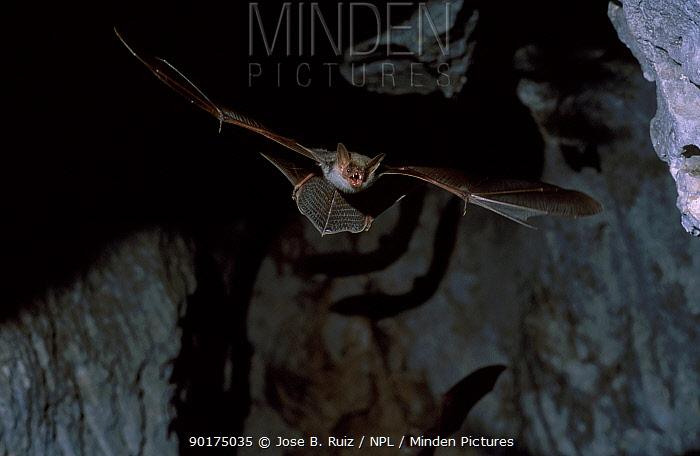 Greater mouse eared bat flying (Myotis myotis) Spain  -  Jose B. Ruiz/ npl