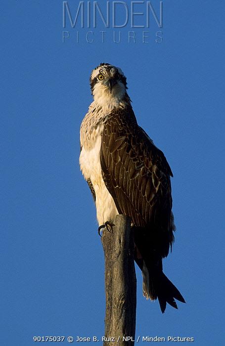 Osprey perched (Pandion haliaetus) Spain  -  Jose B. Ruiz/ npl