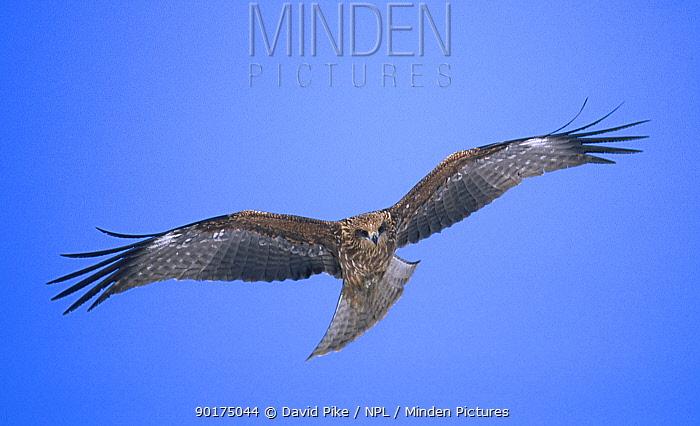 Black kite flying (Milvus migrans) Akan Japan  -  David Pike/ npl