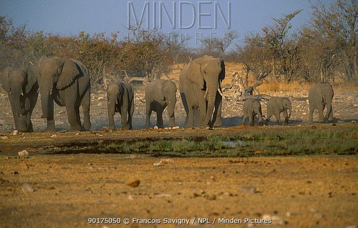 Family herd of African elephants (Loxodonta africana) Etosha NP Namibia  -  Francois Savigny/ npl