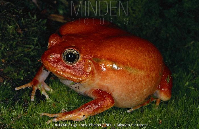 Tomato frog (Dyscophus antongilii) Madagascar  -  Tony Phelps/ npl