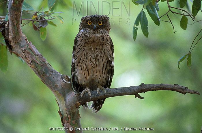Brown fish owl (Bubo zeylonensis) Bandhavgarh NP Madhya Pradesh India  -  Bernard Castelein/ npl