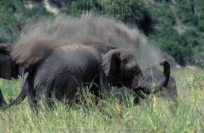 African elephant dust bath (Loxodonta africana) Kenya  -  Neil Lucas/ npl