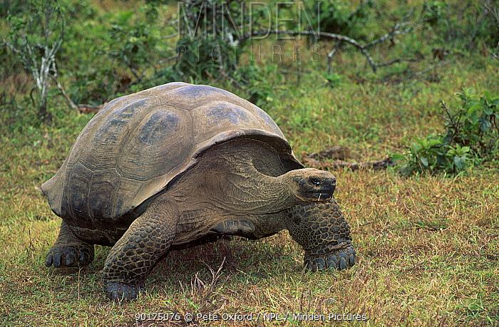 Giant tortoise walking (Geochelone elephantopus) Isabela Is Galapagos  -  Pete Oxford/ npl
