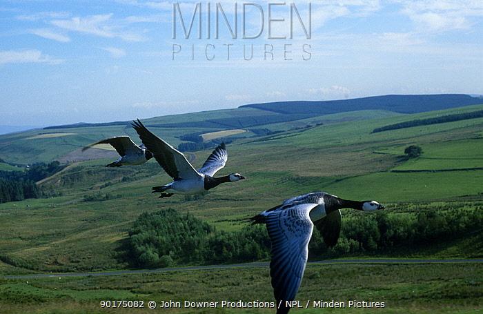 Barnacle geese flying (Branta leucopsis) captive  -  John Downer/ npl