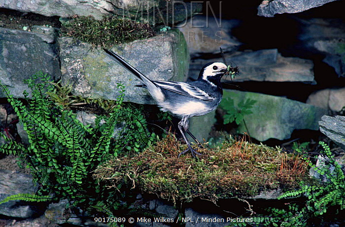 Pied Wagtail coming to nest with food (Motacilla alba yarrellii) Wales  -  Mike Wilkes/ npl