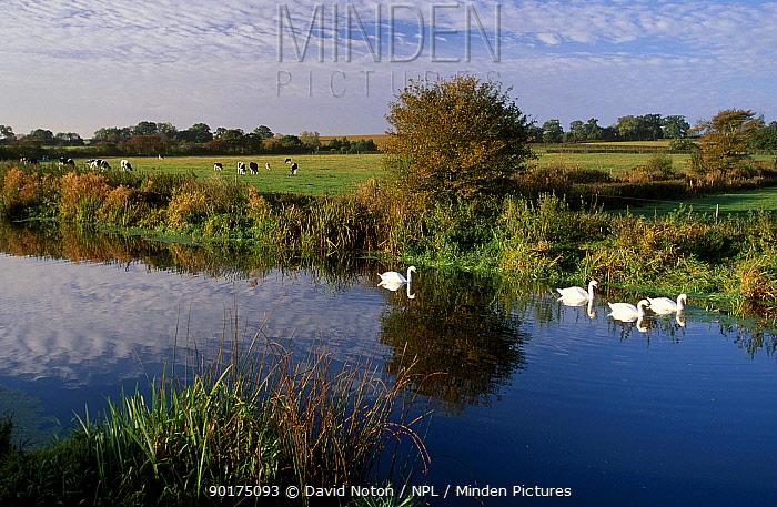 Swans on river Stour Sturminster Newton Dorset UK  -  David Noton/ npl