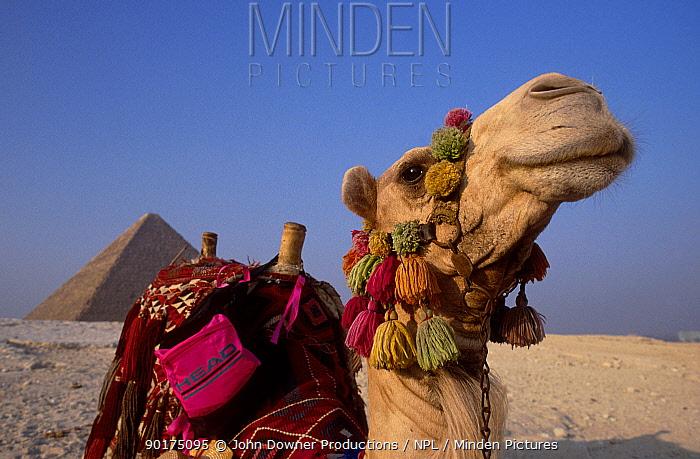 Dromedary camel near The Pyramids (Camelus dromedarius) Egypt  -  John Downer/ npl