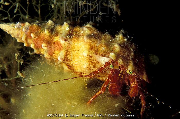 Hermit crab underwater (Paguridae) Mediterranean Sea  -  Jurgen Freund/ npl