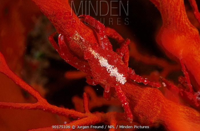 Red spider crab on fancoral (Menaethius orientalis) Indo-pacific  -  Jurgen Freund/ npl