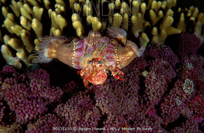 Anemone hermit crab (Dardanus pedunculatus) with Sea anemones on shell Indo-pacific  -  Jurgen Freund/ npl