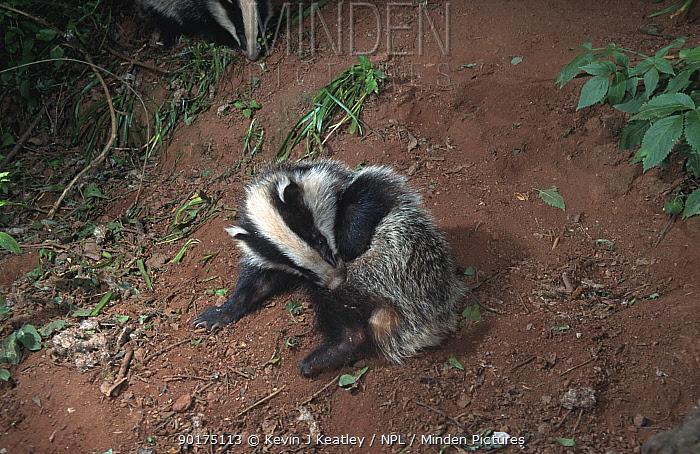 5-month Badger cub grooming (Meles meles) Devon, England  -  Kevin J Keatley/ npl