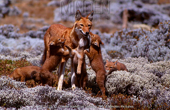 Simien jackal cubs greeting mother (Canis simensis) Sanetti plateau Ethiopia  -  Charlie Hamilton James/ npl