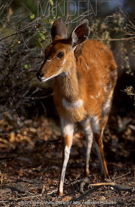Bushbuck female (Tragelaphus scriptus) Okavango delta Botswana  -  Pete Oxford/ npl