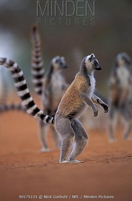 Ring-tailed lemurs standing alert (Lemur catta) Berenty Reserve, Madagascar  -  Nick Garbutt/ npl