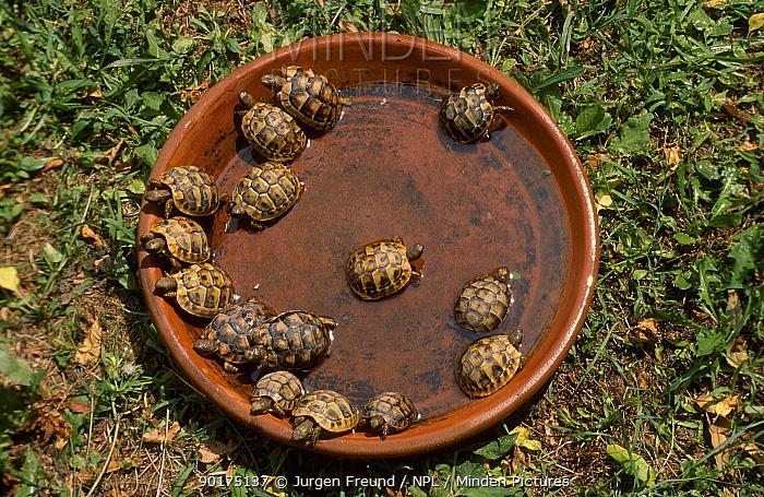 Hermanns tortoise babies in water (Testudo hermanni) captive Tortoise breeding station Italy  -  Jurgen Freund/ npl
