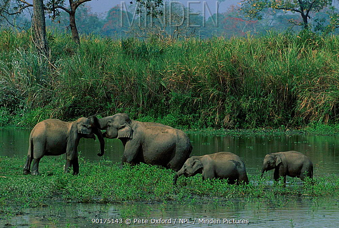Wild Indian elephants (Elephas maximus) Kaziranga National Park Assam India  -  Pete Oxford/ npl