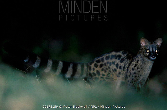 Large spotted genet (Genetta tigrina) Mt Kenya Kenya  -  Peter Blackwell/ npl