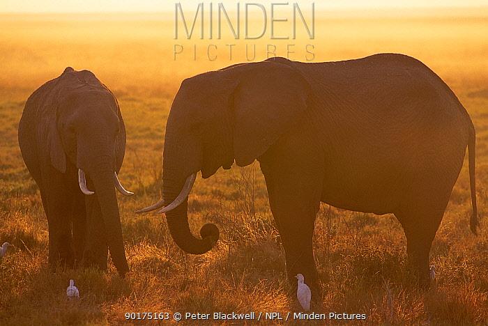 African elephants in dawn mist (Loxodonta africana) Amboseli NP Kenya East Africa  -  Peter Blackwell/ npl