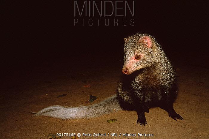 White tailed mongoose (Ichneumia albicauda) Mana Pools NP, Zimbabwe  -  Pete Oxford/ npl