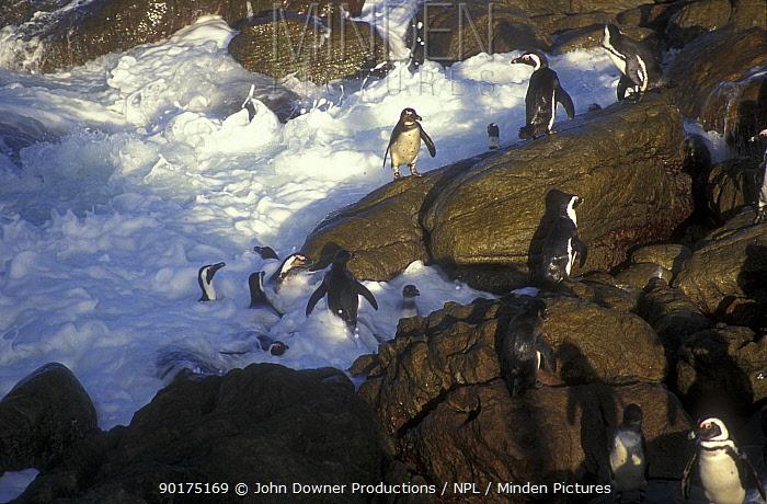 Black footed, Jackass penguins leaving sea (Speniscus demersus) Boulders Beach, S Africa  -  John Downer/ npl