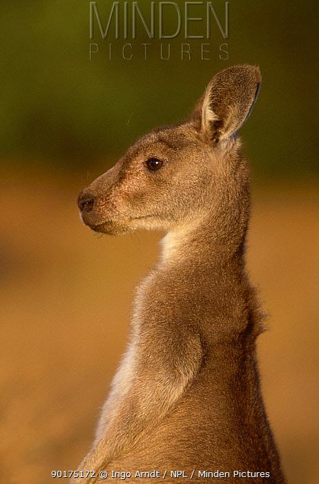 Eastern grey kangaroo joey head profile (Macropus giganticus) Australia  -  Ingo Arndt/ npl