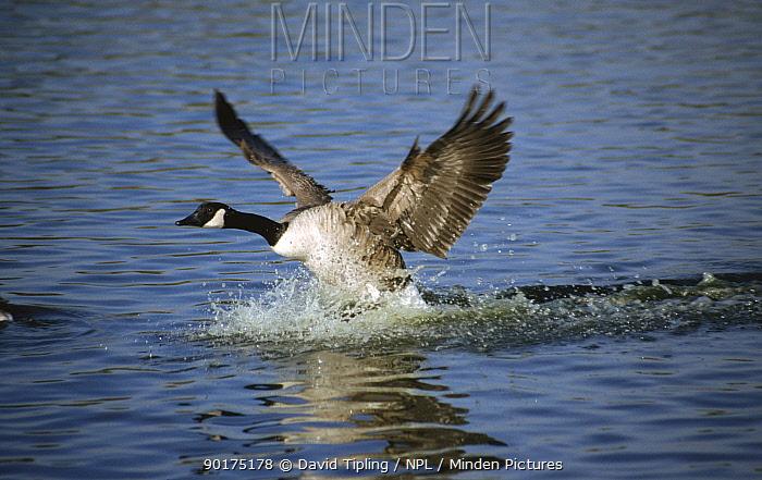 Canada goose (Branta canadensis) landing on water surface, Scotland, UK  -  David Tipling/ npl