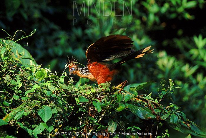 Hoatzin in tree, Manu National Park, Peru  -  David Tipling/ npl