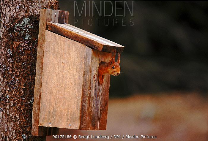 Red squirrel investigates birdbox Sequence 5, 5, Sweden  -  Bengt Lundberg/ npl