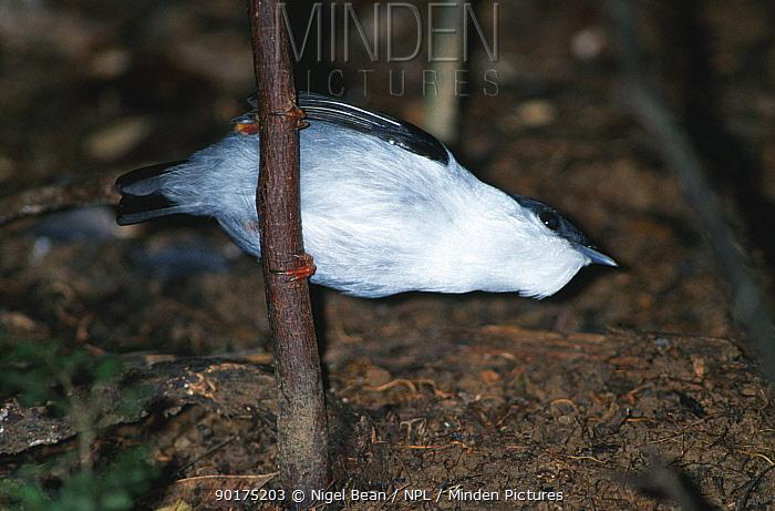 Male White bearded Manakin (Manacus manacus)Asa Wright Nature Centre, Trinidad  -  Nigel Bean/ npl