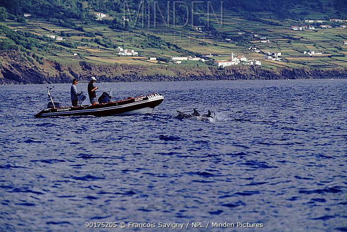 Dolphins swimming alongside boat, Pico Island, The Azores, Portugal, Europe  -  Francois Savigny/ npl