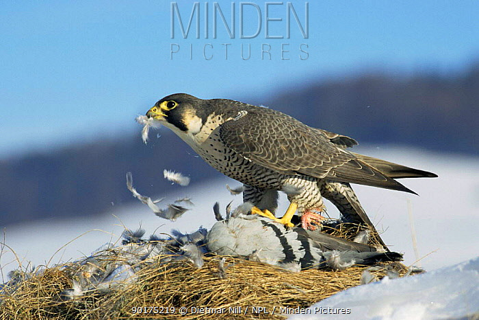 Peregrine falcon feeding on pigeon prey (Falco peregrinus)  -  Dietmar Nill/ npl