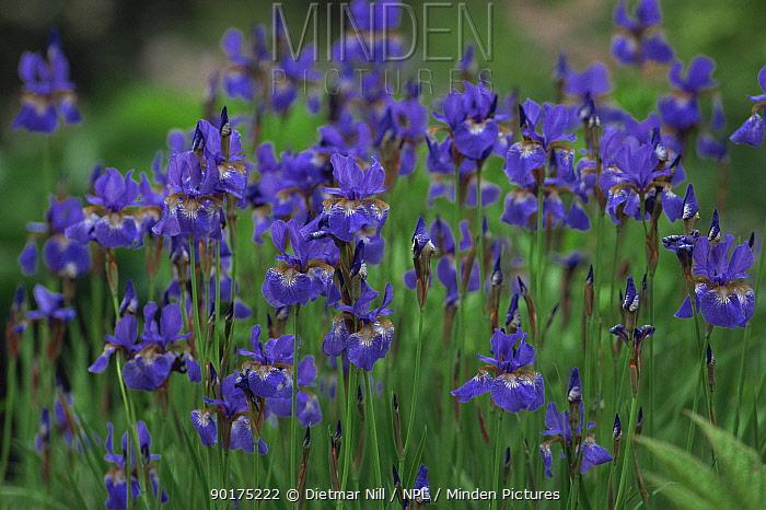 Cluster of Siberian iris (Iris sibirica) in flower, Europe  -  Dietmar Nill/ npl