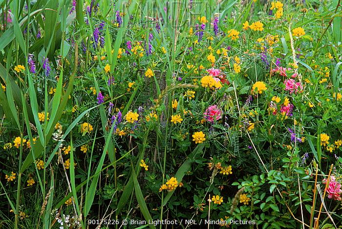 Tufted vetch (Vicia cracca), Rambling rose and Hop trefoil (Trifolium campestre) Scotland, Galloway, Scotland, UK  -  Brian Lightfoot/ npl